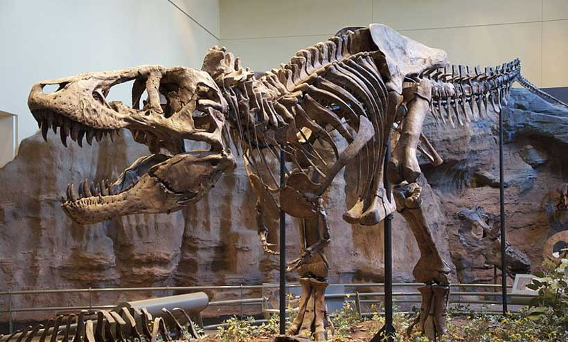 Tyrannosaurus rex holotype specimen at the Carnegie Museum of Natural History, Pittsburgh.