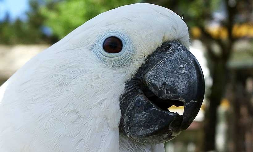 why can parrots talk