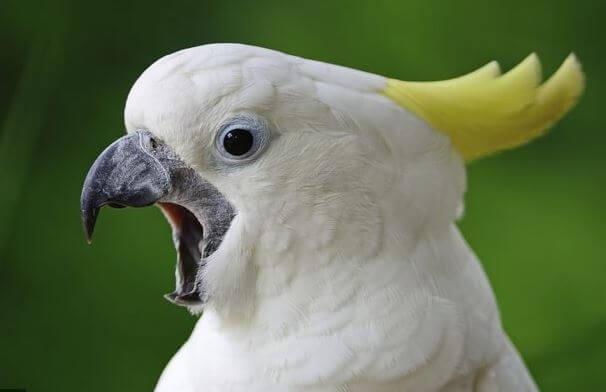 cockatoo yelling