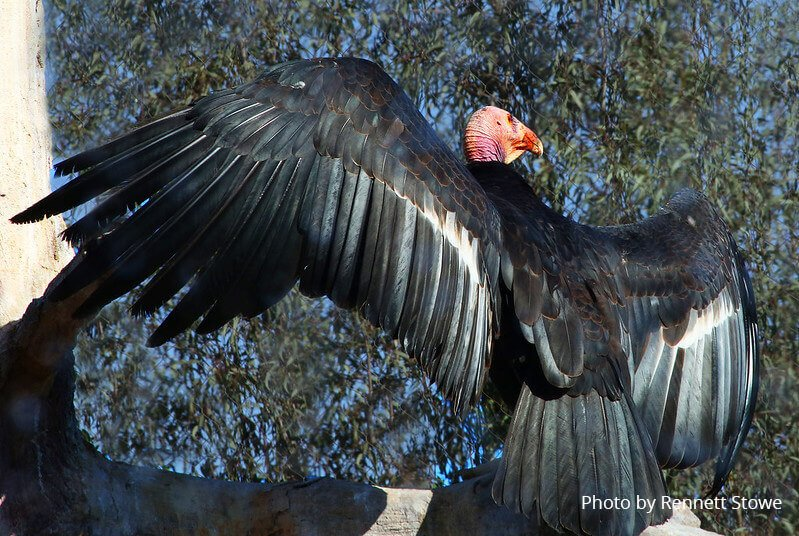 California Condor opening its wings - Photo by Rennett Stowe