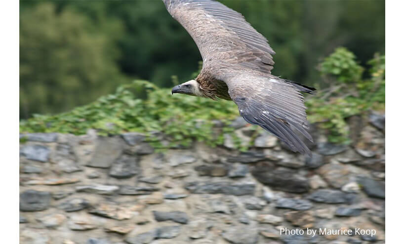 Griffon Vulture Wingspan