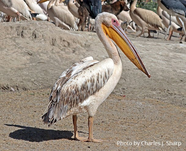 Great White pelican wingspan By Charles J. Sharp - Own work, from Sharp Photography