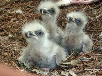 Golden eagle chicks