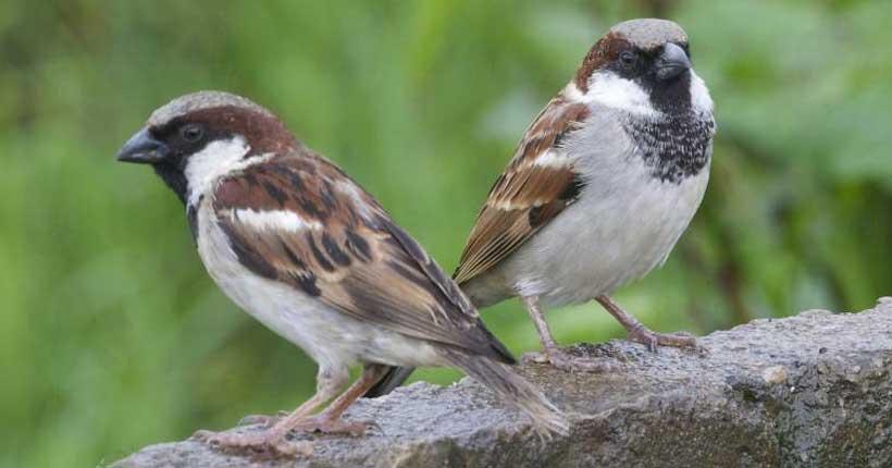 house sparrow cheat